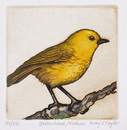 mary taylor nz native bird etchings, yellowhead